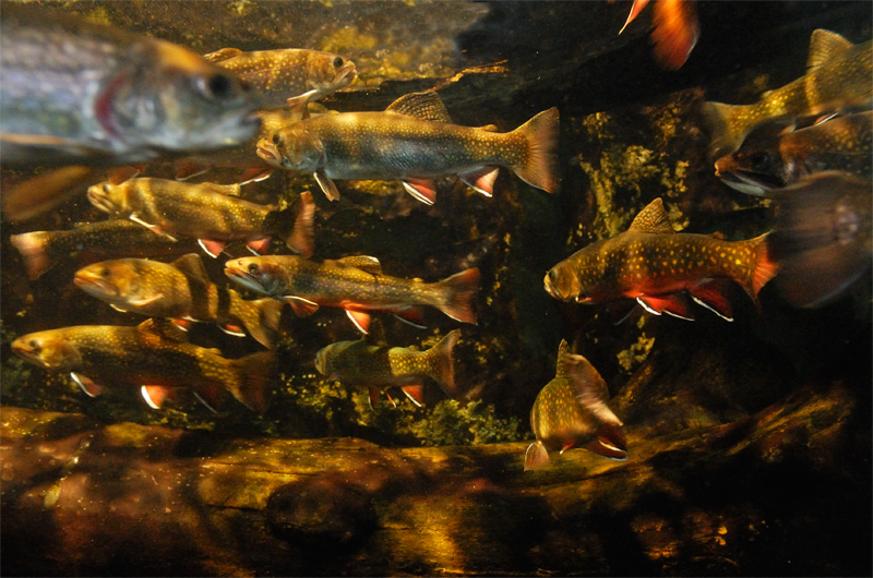 A happy school of brook trout