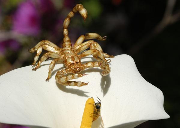 Un faux scorpion chasse une fausse abeille, Graham Owen