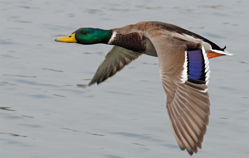 Mallard Drake in flight on a cloudy day
