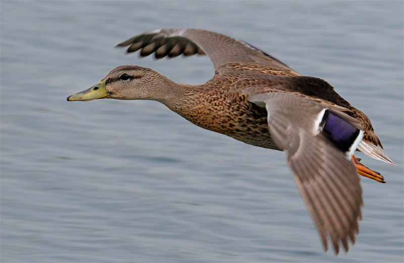 Mallard Hen in flight close up photography