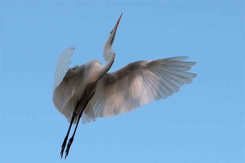 Beautiful Great Egret about to land in a tree