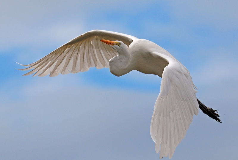 Gorgeous Great Egret in flight with pretty clouds in the background