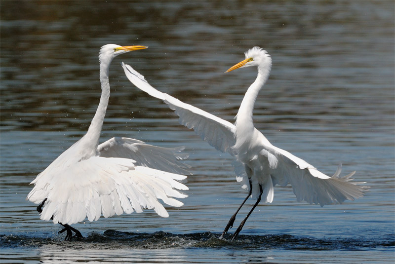 Pair of Great Egrets dancing on water