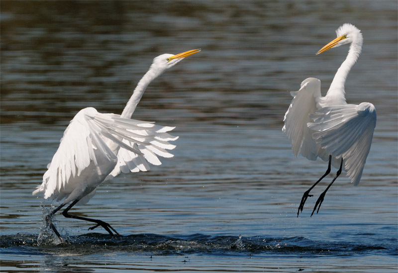 Great Egret at play on the lake