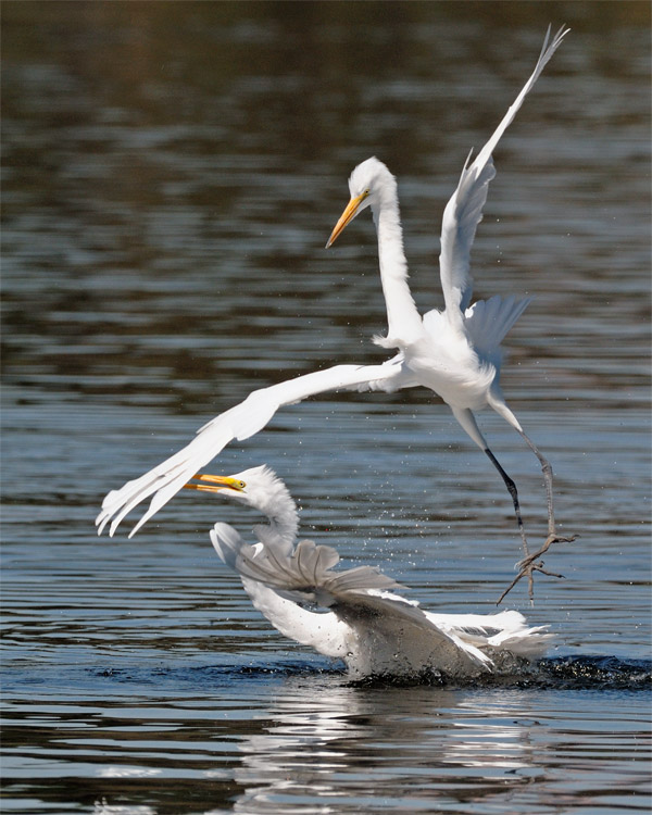 Great Egrets having fun