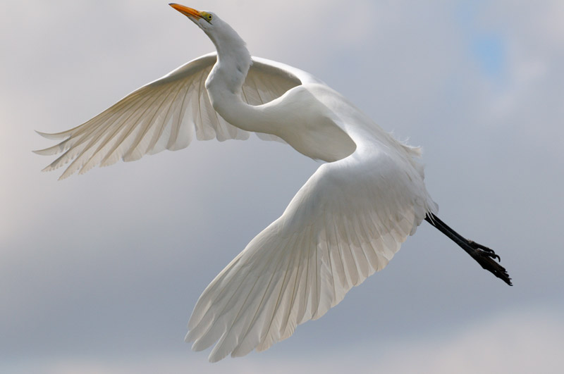 Magnificent Great Egret in flight, just fit in the camera viewfinder