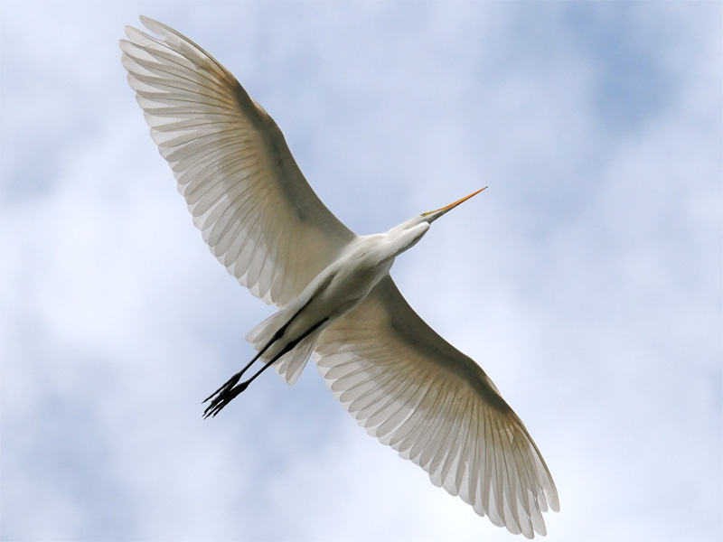 Great Egret flying directly overhead with wings spread wide