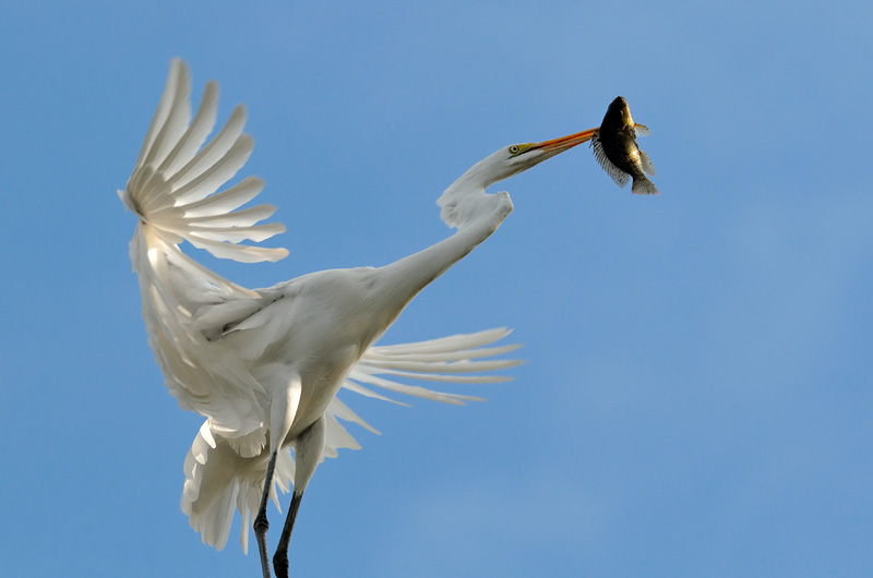 Great Egret landing on a tree top with a fish breakfast