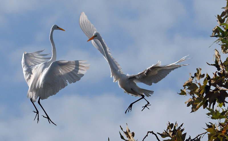 Pair of Great Egret performing a mid air ballet