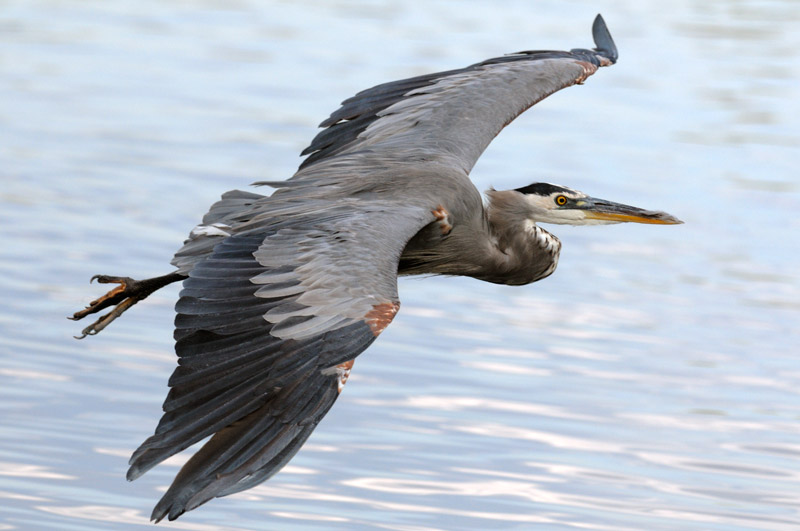 Great Blue Heron in flight close up