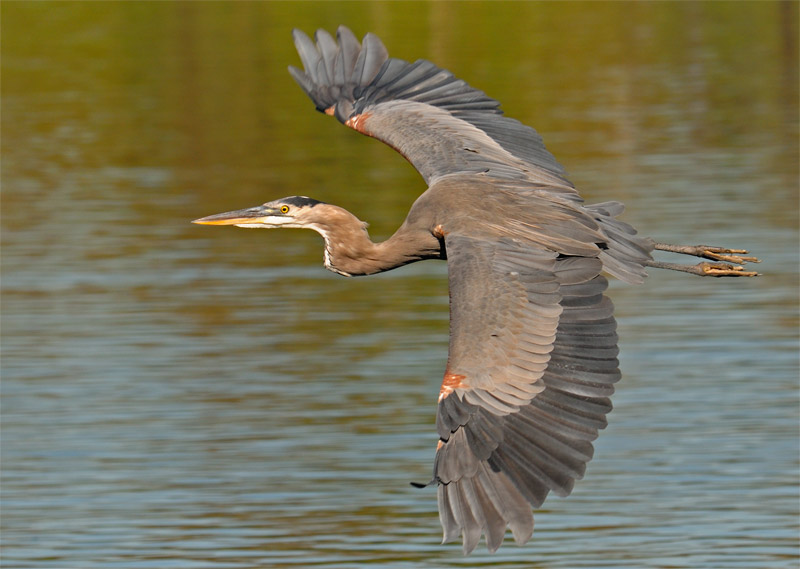 Reddish colored Great Blue Heron in flight over the Los Angeles River