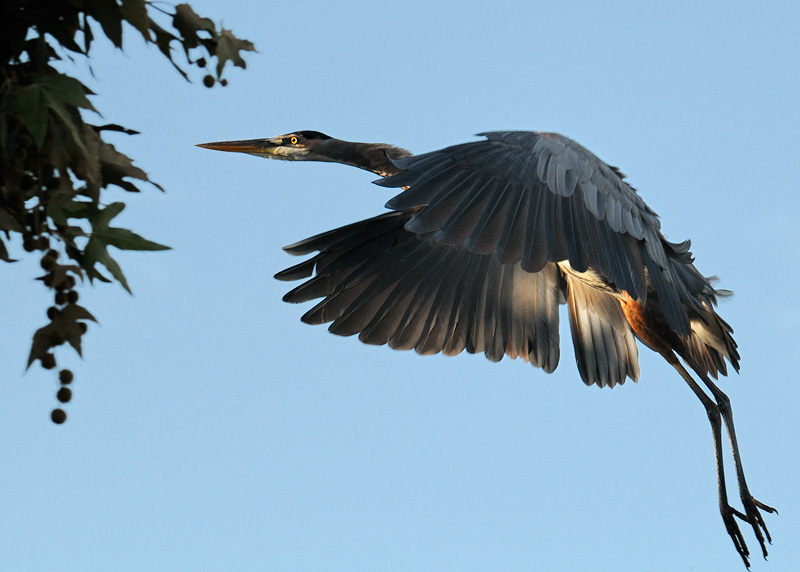 Great Blue Heron flying towards sunrise with nice light on its belly
