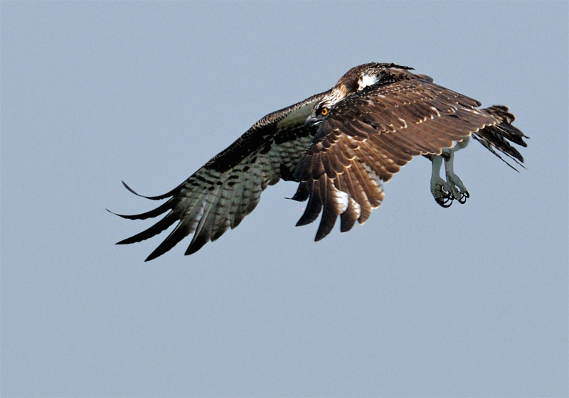 Osprey prepars to dive after spotting a fish