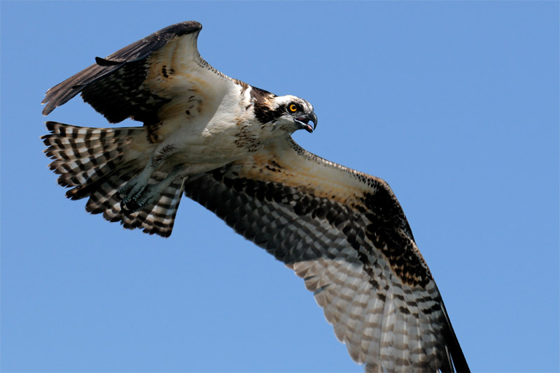 osprey in flight up close