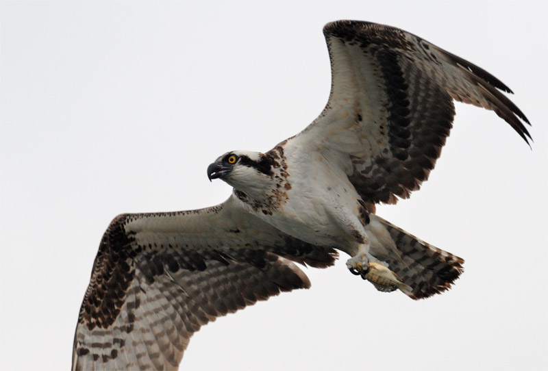 close up photo of an osprey in flight with a fish in its talons