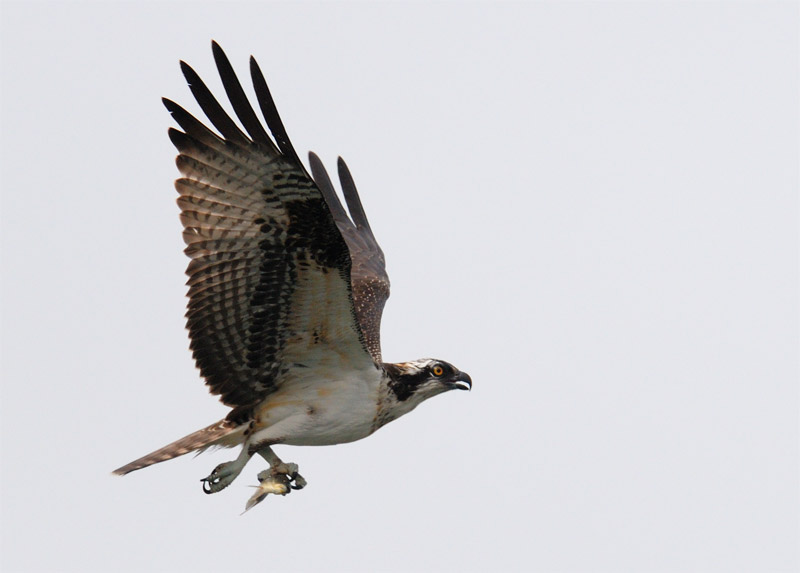 osprey flying away with a small fish