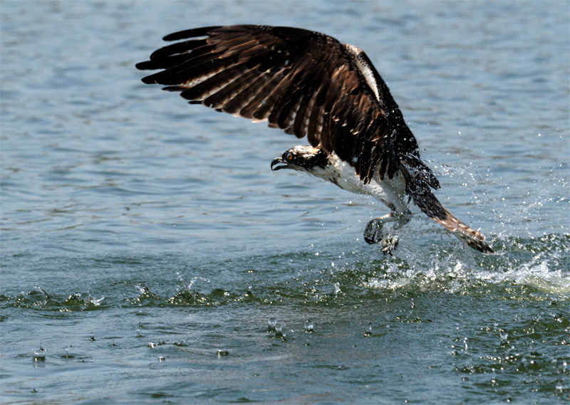 osprey exits the water without a fish