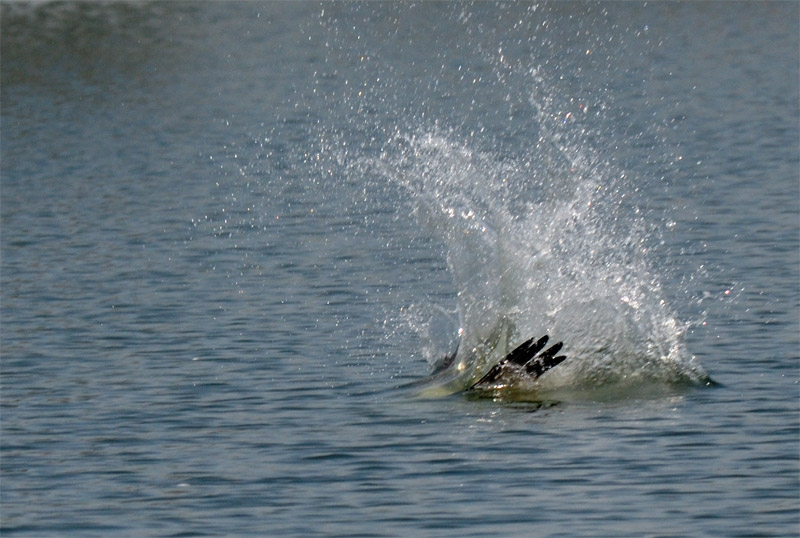 osprey hits the water and becomes submerged