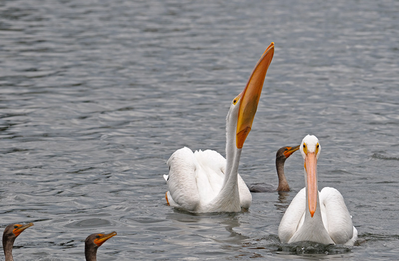 Pelican swallows its fish with a big gulp
