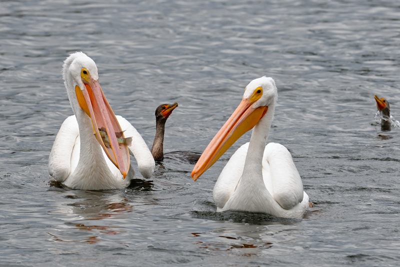 White Pelican with a sizable fish in its pouch