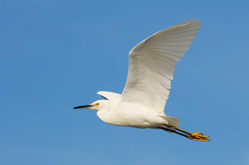 Snowy Egret in flight over the Pacific Ocean