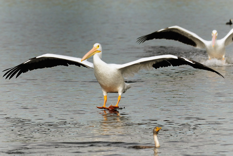 American White Pelicans landing on a small Los Angeles lake