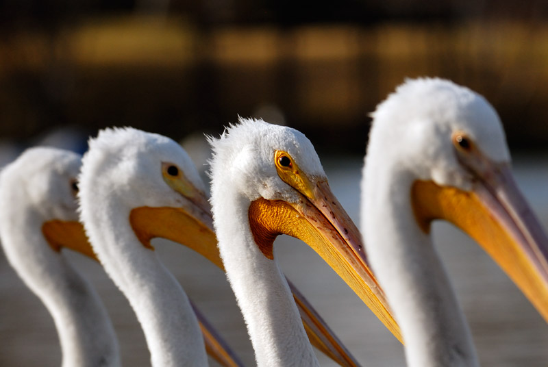 American White Pelicans posing for a photograph