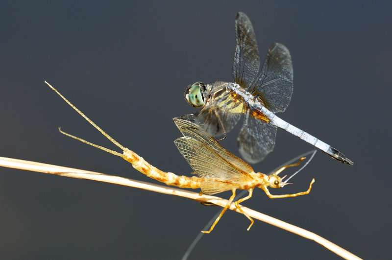macro photo of a dragonfly attacking my mayfly