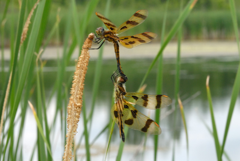 pair of Halloween Pennant dragonflies mating