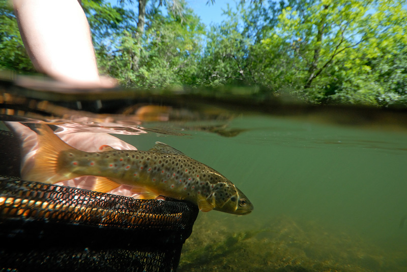 Over under fly fishing photography releasing a nice brown trout