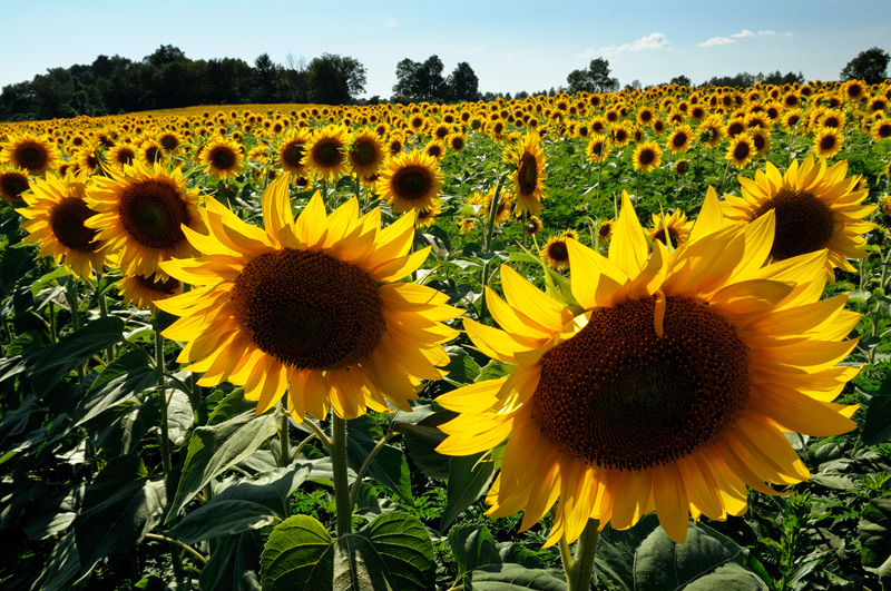 Sunflower Field Rome New York