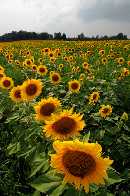 field of sunflowers near Rome New York