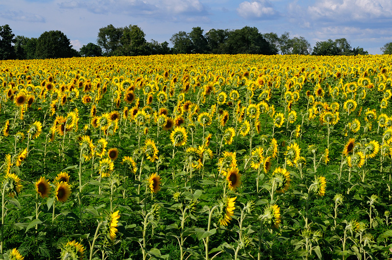 field of sunflowers audience to the sun
