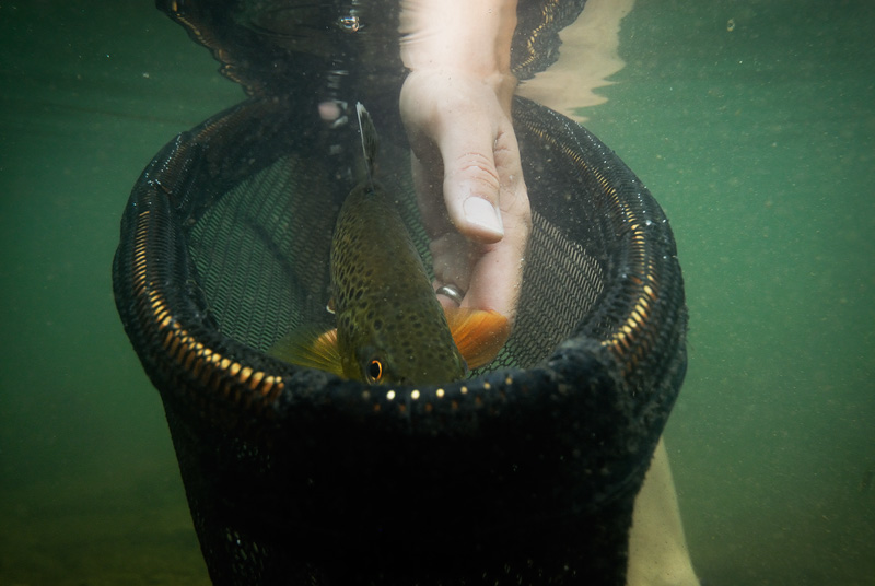 Brown trout peeking over the top of the net