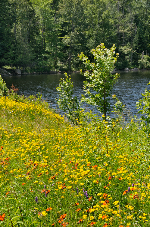 East Orange Focus >> New York State Native Wildflower Photography