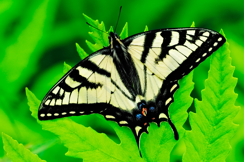 Beautiful Tiger Swallowtail butterfly