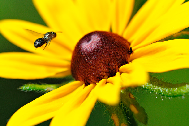 Bee flying into a yellow flower