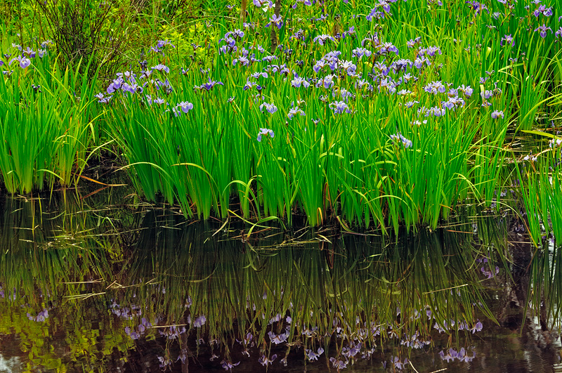 Wild purple iris swamp relection