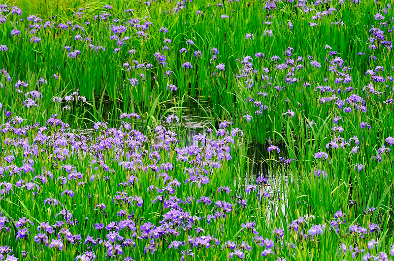 A swamp full of wild Iris versicolor
