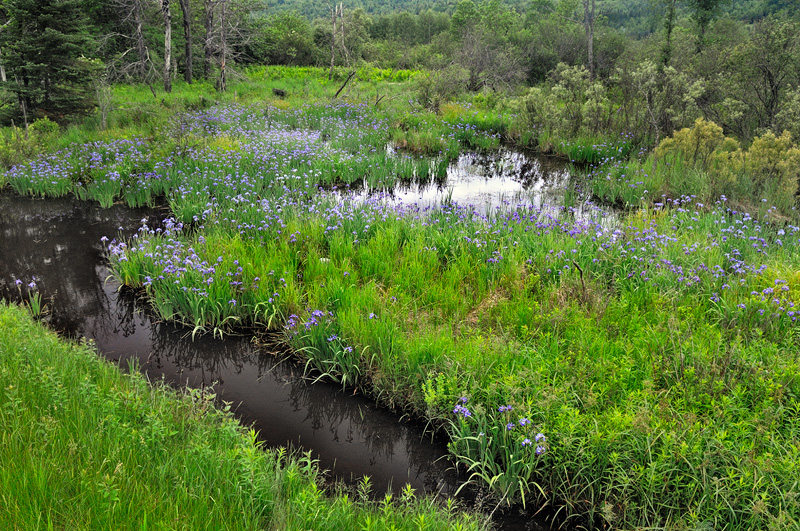 Purple Iris growing wild in a swamp near Plattsburg New York