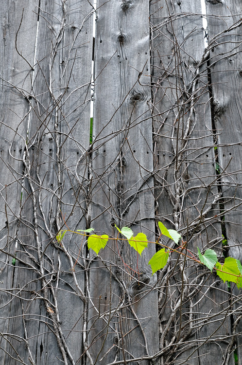 Vine growing on old wooden planks