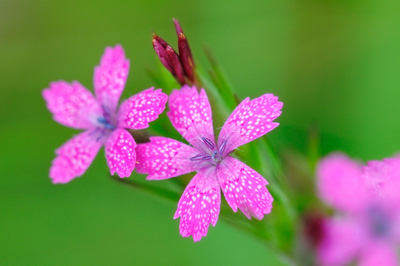 New york state native wildflower photography more dianthus armeria wildflowers mightylinksfo