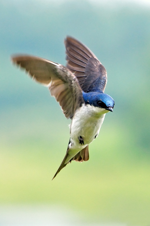 Tree Swallow - Notiochelidon cyanoleuca Swallow in flight