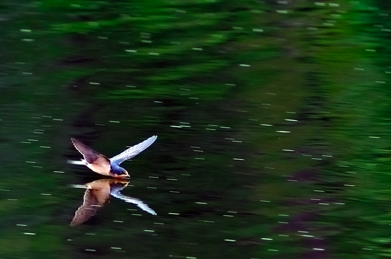Swallow reflection on Oak Orchard River New York