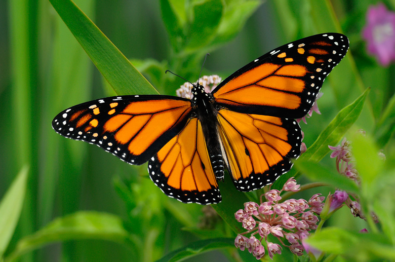 Butterflies migrate early in South India