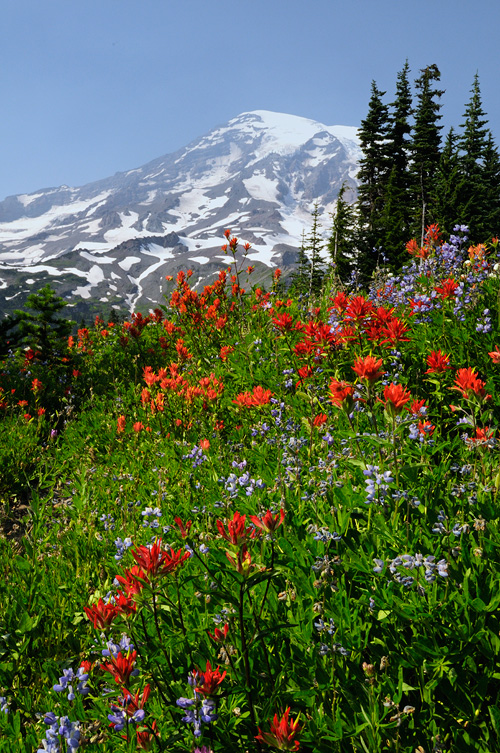 Snow Capped Mount Rainier surrounded with beautiful summer wildflowers