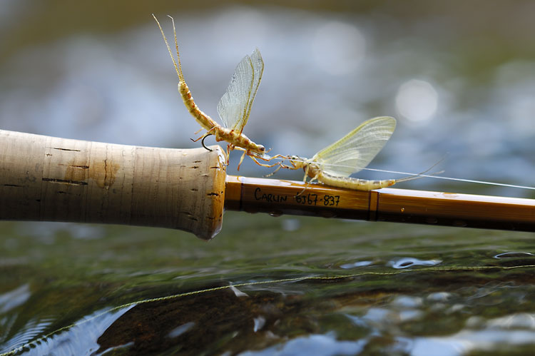 nice pair of hex mayflies