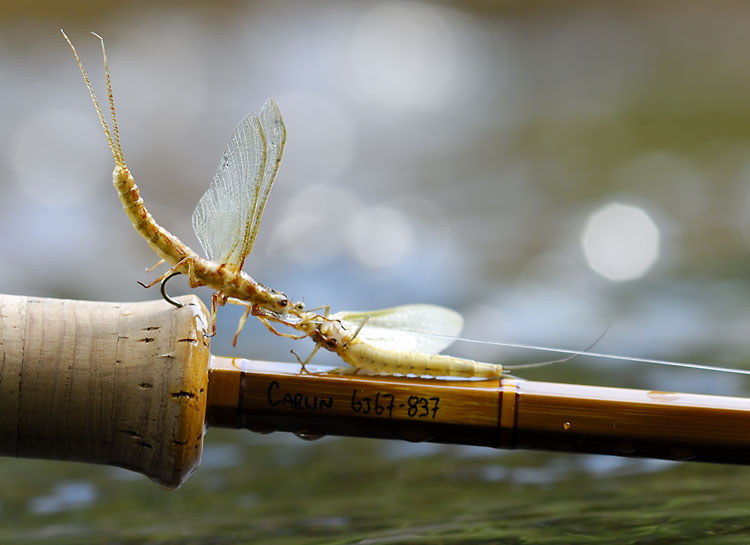 mayfly love