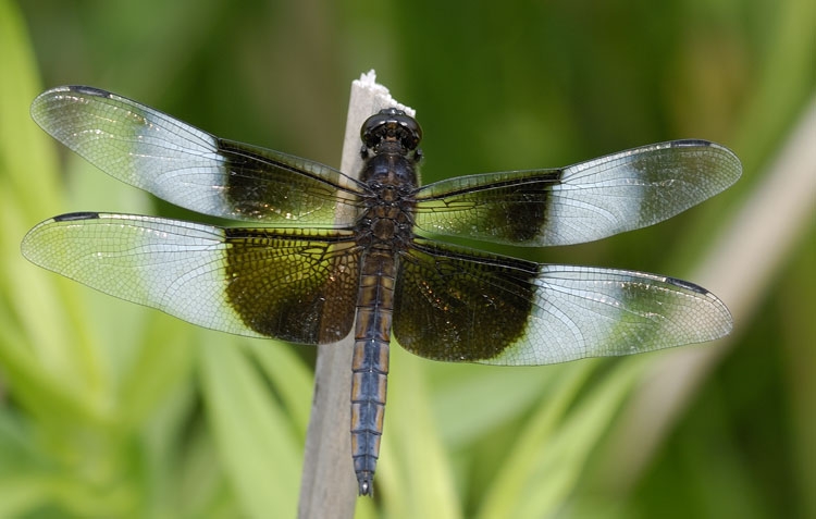 The gallery for --> Pretty Dragonfly Art