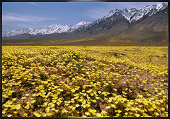 Eastern Sierra Wildflowers
